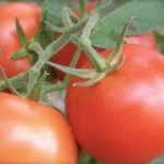 Tomater till sås Foto: Heléne Götberg