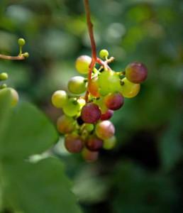 Vindruvor odlade av Odla med solen i Fisksätra Bilden är lånad från DN.se