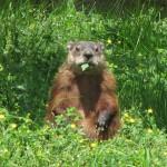 Ett murmeldjur, groundhog, som äter.