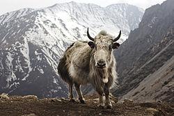 Jak i Nepal. Foto från travelwayoflife