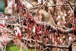 Magnolia full med Martenitsa, i Veliko Tarnovo, Bulgarien. Foto: Danielgrad