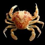 En krabba till lunch Foto: Hans Hillewaert