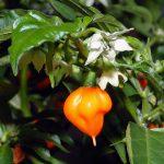 Habanero pepper Foto: Andre Karwath