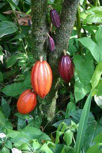 Kakaobönor i olika mognadsstadier. Foto: Medicaster