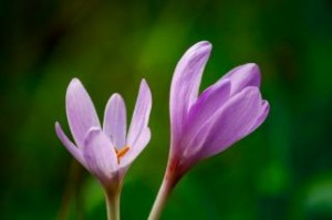 crocus-heuffelianus_19-137390 foto Freepik