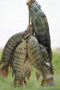 Färsk tilapia Foto från Wikipedia