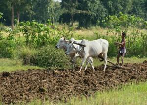 På landsbygden är det inte en ovanligt att bönderna använder kor som drar en plog i form av en trästock. Det är stor brist på moderna maskiner och kunskap om hur man hanterar dem.  Foto: Johan Bünger