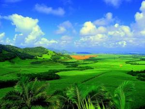 Sockerrörsplantage på Mauritius. Foto från Wikipedia