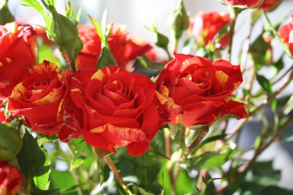 Fair trade-rosor till Alla hjärtans dag.