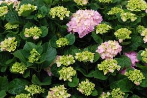 Detta är den sorts hortensia örtteet ama-cha görs på.
