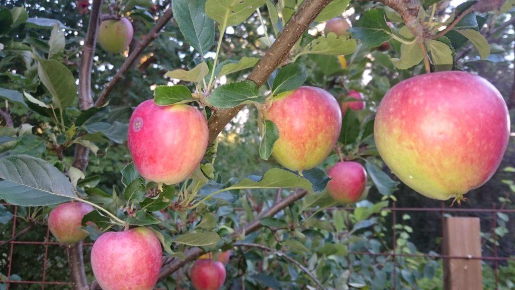 Äpplen mognar fint i träden. Foto: Caroline Maino