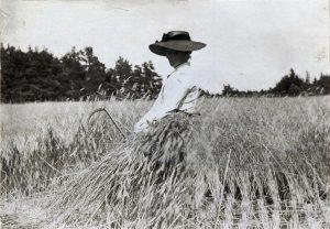 Råg skördas i Västerhejde socken på Gotland i början av 1900-talet. Foto från Nordiska Museet